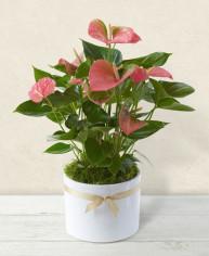 Anthurium rosa online