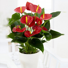Anthurium rosso online