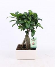 Bonsai ginseng online