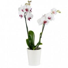 Orchidea phalenopsis online